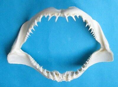 """14 1/4 """"wide Mako shortfin Shark jaw mouth taxidermy for scientic study SD-96"""