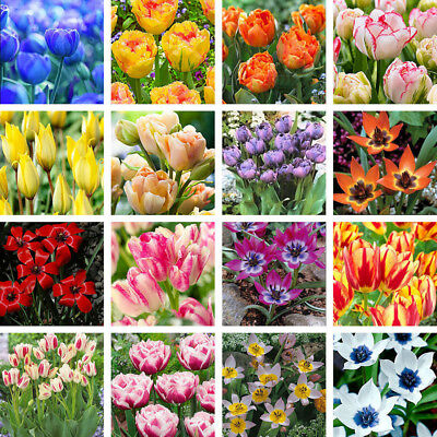 3Pcs Variety Tulip Bulbs Seed Beautiful Flower Home Garden Plant Decoration Cool