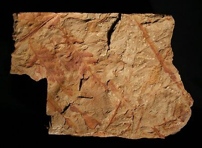Fertile fern fossil - Sphenopteris fructification preserved with sporangia !
