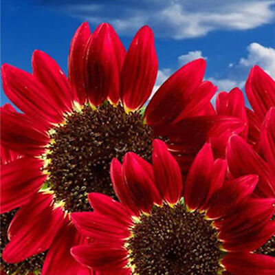 30 Pcs Red Sunflower Rare Flower Seeds Annual Decor Organic Helianthus Top