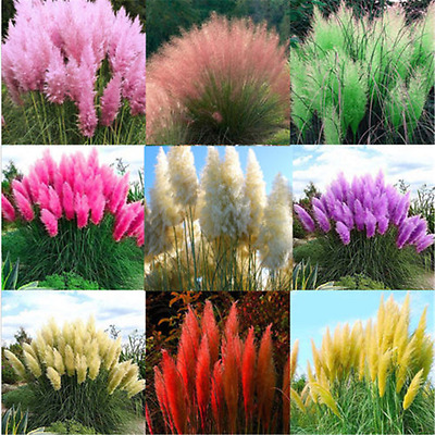 2000X Pampas Grass Seeds Ornamental Plant Flowers Cortaderia Selloana Grass TR