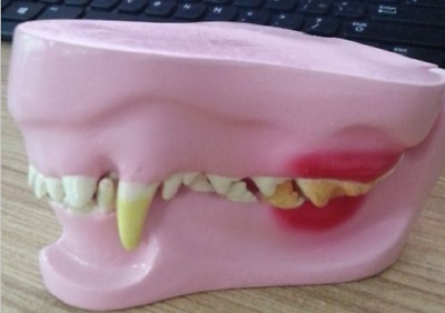 NEW Canine Jaw/Teeth Anatomical Model Veterinary Anatomy