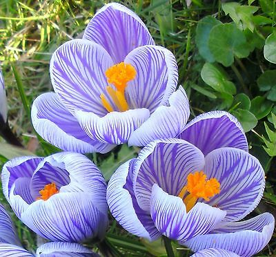20 x Large Flowering STRIPED CROCUS - PICKWICK  Spring Garden BULBS