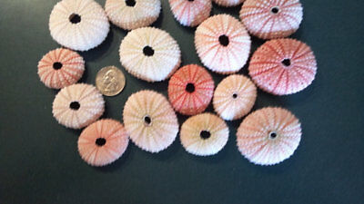 "12 - Large Pink Sea Urchins 1 1/2 -2 1/2"" Shells Seashells Crafts Weddings"