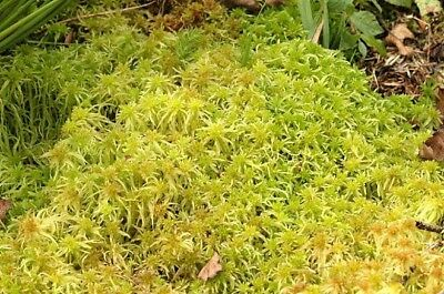 Sphagnum moss 2kg - live moss-  handpicked so fresh when posted + 10% Extra free