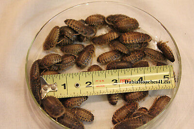 """50 Large (about 1"""") Dubia Roaches to Feed Your Reptile"""