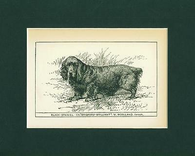Dog Print 1900  Sussex or Field Black Spaniel Antique