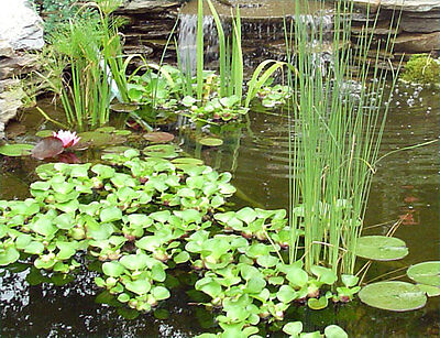 LIVE Pond Water Garden Aquarium Plants - 30+ Varieties - Updated for Summer 2019