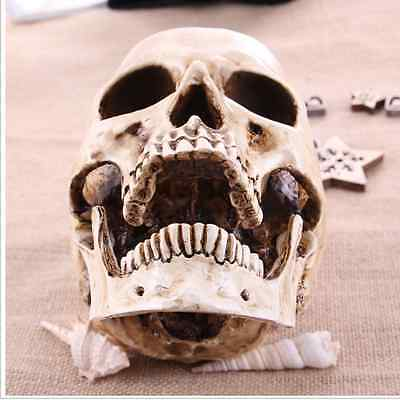 Human Skull Replica Resin Model Medical Realistic lifesize 1:1 white decoration