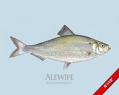 Herring Fish Alewife Painting Atlantic Fishing Art Real Canvas Print