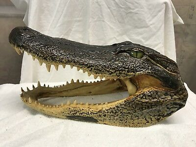 14 inch Alligator head from a 9 foot gator real taxidermy reptile (S)