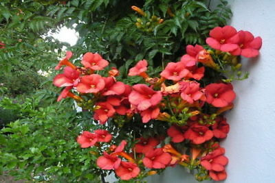 RED TRUMPET VINE - Campsis radicans (50 SEEDS) TROPIC CLIMBING PERENNIAL