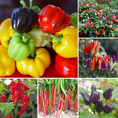 Vegetable Pepper Seeds Colorful Sweet Chili Bonsai Plants Home Garden Ornaments