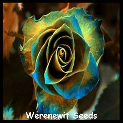20 x NEW RARE EXOTIC GOLDEN-BLUE EDGED ROSE SEED,FREE POST,FRESH STOCK..