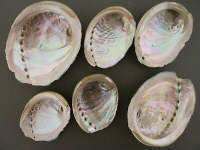 ABALONE SHELLS 6 x  NATURAL MOTHER OF PEARL Green Lip South Australian 8