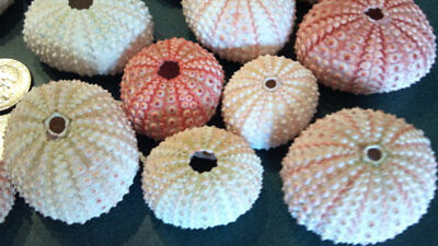 6 Large Pink Sea Urchin Seashells Shells Beach Wedding Craft Decor Airplants.