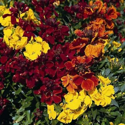 1500 Seeds Wallflower of the Walls Erysimum Cheiri//Fire King Cheiranthus