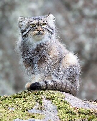 Manul / Pallas's Cat 8 x 10 / 8x10 GLOSSY Photo Picture