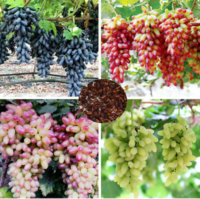 Very Rare Finger Grape Seeds Advanced Fruit Seed Natural Growth Grape Delicious