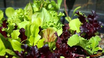 LETTUCE 'Gourmet Mixed' 200 seeds fancy red green ALL TYPES mix vegetable garden