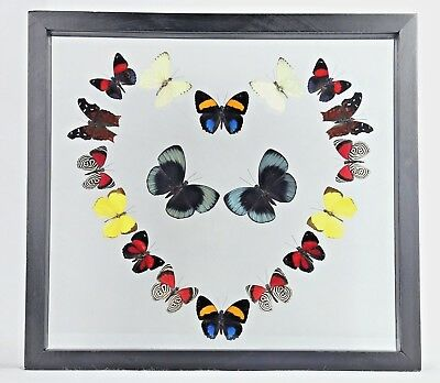 REAL 18 butterfly framed collection display art wall art decor best gift special