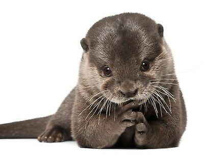Otter 8 x 10 / 8x10 GLOSSY Photo Picture IMAGE #3