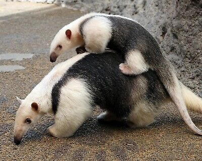 Anteater 8 x 10 / 8x10 GLOSSY Photo Picture IMAGE #3