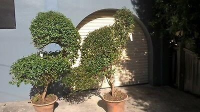 Two Large Topiary Birds in Pots