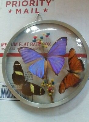 Real Butterflies Round Convex Wall Framed Display Insect Taxidermy Brazil