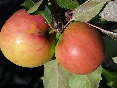 James Grieves Apple Tree 4-5ft 6L Pot Ready to  Fruit,Desert & Cooking Apple