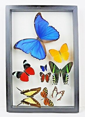 REAL 9 butterfly framed collection display art wall art decor best gift special