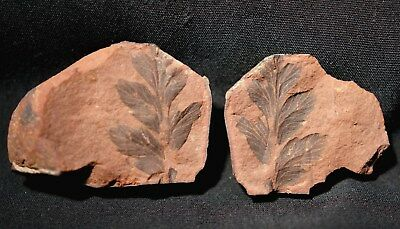 Nice fern fossil plant Mariopteris in Mazon Creek like ironstone siderite nodule