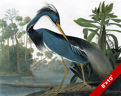 Audubon Birds of America Louisiana Heron Painting  8x10 Real Canvas Art Print