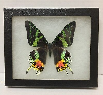 REAL LARGE FRAMED BUTTERFLY BLUE BLACK GREEN PAPILIO SWALLOWTAIL IRIDESCENT Male