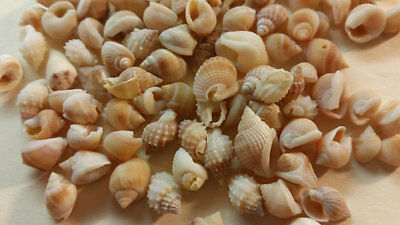 "100 Natural tan Brown Orange Nutmeg Mix Shells Seashells Tiny 1/4""- 1/2"" Crafts"