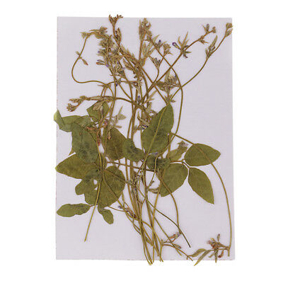 Pressed Bunch of Pea Tendrils Real Natural Dried Flowers DIY Floral Decor 12