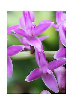 100x Micropera Rostrata Seeds Orchid - - House B1766