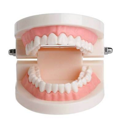 Dental Adult Standard Typodont Demonstration Teeth Tooth Model Pink Teach Study
