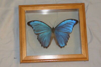 """Real Butterfly Blue Morpho Didius Hand Made Frame 7""""x8"""""""