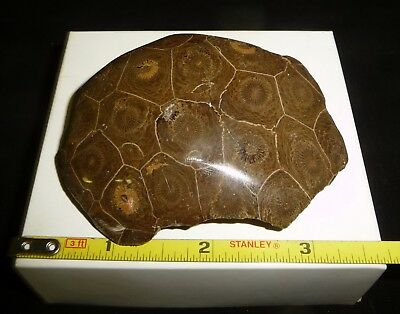 DINO: Amazing FOSSILIZED CORAL DOME Polished Specimen, Morocco - 100 gr. Display