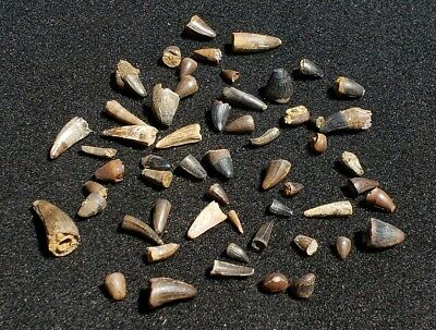 50 Fossil Dinosaur Era Crocodile  Teeth Hell Creek Montana