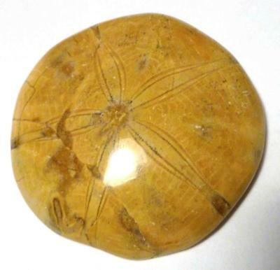 "80mm Excellent Clypeasteroid Fossil Nice Star Sand dollar 3 & 1/8"" Echinoiid"