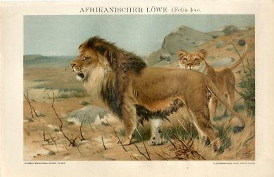 1895 AFRICAN LION MALE FEMALE Antique Chromolithograph Print Robert Friese