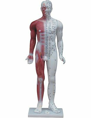 Deluxe Acupuncture Male Model - 84cm - Pressure Point and Meridians