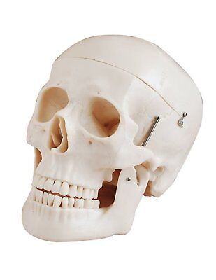 Deluxe Life Size Human Skull Anatomical Model - Medical Training Aid