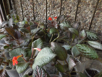 Episcia and Columnea plug plants