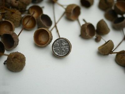 20 acorn cups,15mm- 19mm Natural Dried acorn cups with stems,Fall decoration