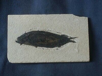 Knightia Fossil fish. 50 m.y.o. Green River formation USA