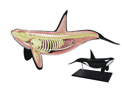 Orca-Wal Anatomie Modell/Puzzle, 4D Vision Set #26099 Tedco Wissenschaft