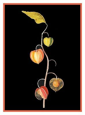 Winter Cherry Chinese Lantern inspired Mary Delany Counted Cross Stitch Pattern
